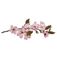 sakura flowers background vector image