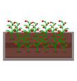growing tomatoes urban farming gardening or vector image