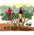 two men collect the olives directly from the tree vector image vector image