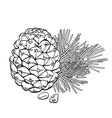 cedar cone pine nuts and needles vector image vector image