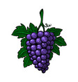 hand drawn grape in engraving style design vector image vector image