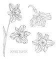 narcissus flowers set vector image