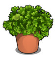 lush bush of parsley in a pot herbs for cooking vector image vector image