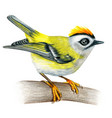 firecrest hand drawn bird watercolor colored vector image vector image