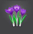 three crocus flowers vector image vector image