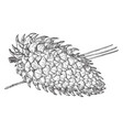 pine cone coulter pine vintage vector image vector image