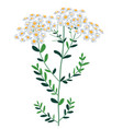 bouquet wildflowers bunch chamomile herb vector image