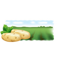 Potato field landscape