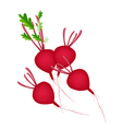 Group of Radish Or Beet on White Background vector image vector image