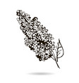 hand drawn branch of lilac - isolated spring vector image