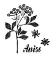 anise plant sketch ink anise herbal vector image vector image