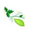 Fresh Green Bitter Melon on White Background vector image vector image