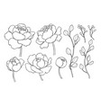 peony flower and leaves line drawing hand vector image vector image
