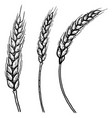 set of hand drawn of wheat spikelets design vector image