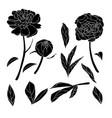 peony black concept vector image