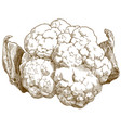 engraving antique cauliflower vector image