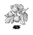 Fig branch drawing hand drawn isolated