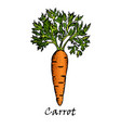 hand drawn of one carrot vector image