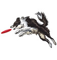 border collie playing frisbee vector image vector image