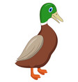 cute duck cartoon isolated on white background - v vector image