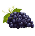 realistic dark grapes vector image