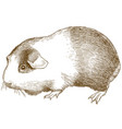engraving antique guinea pig vector image