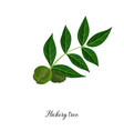 drawing branch hickory tree vector image vector image