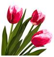 watercolor beautiful tulips flowers vector image