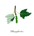 drawing branch white poplar tree vector image vector image