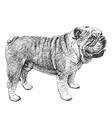 Bulldog 02 vector image vector image