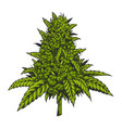 vintage green cannabis plant concept vector image vector image