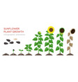 sunflower growing process flat vector image vector image