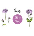 set of pink roses isolated vector image