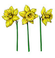daffodil flower and leaves drawing hand vector image vector image