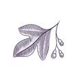 drawing branch sassafras tree vector image vector image