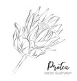 protea sketch floral botany collection vector image vector image