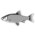 roach fish black and white vector image vector image