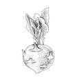 hand drawn kohlrabi plant vector image