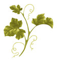 vine pumpkin branch with leaves vector image