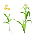 sweet corn flowering plant and seeds vector image vector image