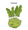 kohlrabi cabbage brassica oleracea vector image vector image