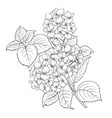 mop head of hydrangea flower isolated over white vector image vector image