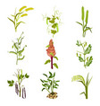 flat set of cereals and legumes plants vector image