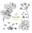 coriander hand drawn set vector image vector image