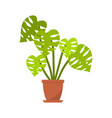monstera plant in pot for home vector image