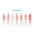 male body system infographic set or banner flat vector image vector image