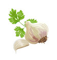 garlic and parsley vector image vector image