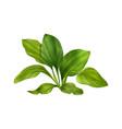 plantain realistic vector image