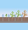 cotton plants growing vector image vector image