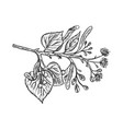 linden branch engraving vector image vector image